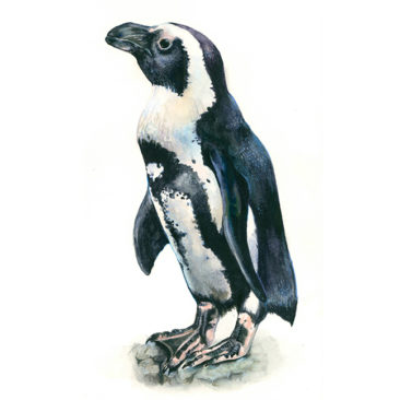 African blackfooted penguin <i>(Spheniscus demersus)</i> at the Monterey Bay Aquarium. <i>Watercolor and colored pencil