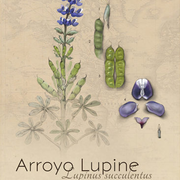 Botanical plate of an arroyo lupine <i>(Lupinus succulentus). Graphite, Adobe Illustrator, and Photoshop