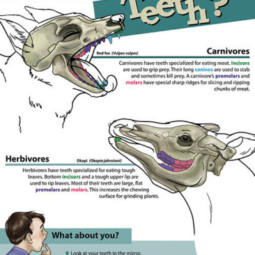 Poster aimed at educating children about different kinds of mammalian teeth. <i>Adobe Illustrator and Photoshop