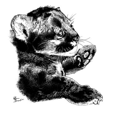 4-week-old Florida panther cub <i>(Puma concolor coryi)</i> found in Big Cypress National Preserve. Reference photo by Kevin Castle. <i>Ink on scratchboard