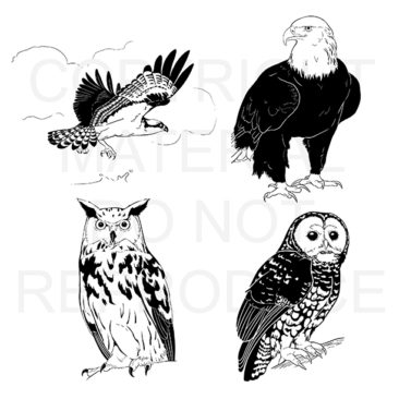 A series of raptor illustrations commissioned by the Rocky Mountain Bird Observatory. These images can be seen in their newsletters. <i>Adobe Photoshop